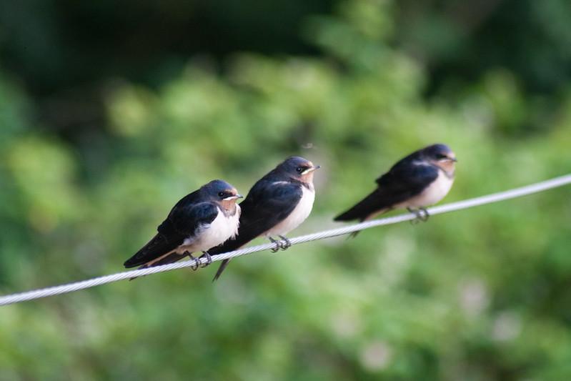 birds mayennsep